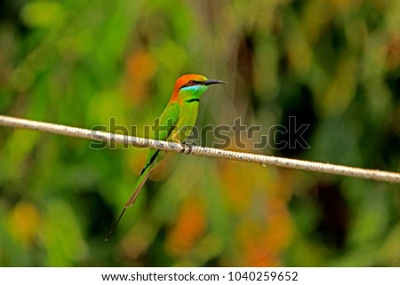 Chestnut-headed Bee-eater in Nature #1040259652