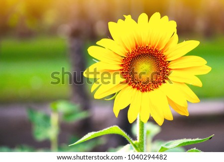 Close up beautiful sunflower at the park. Sunflower oil for the healthy life. #1040294482
