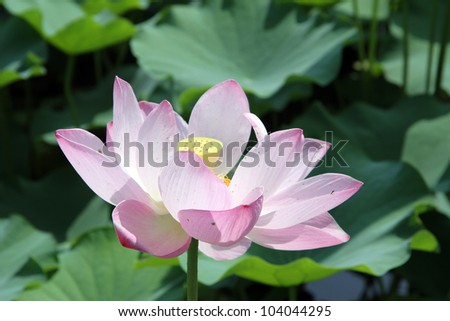 Big pink lotus and green leaves in pond #104044295