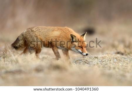 Fox (Vulpes vulpes) #1040491360