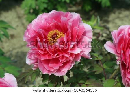 A flower of peony blooming to the west of Joruri Temple. #1040564356