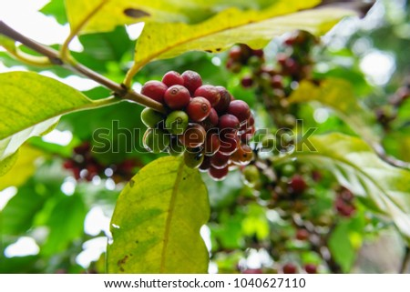close up of ripe coffee bean and branch on the arabica coffee tree after raining #1040627110