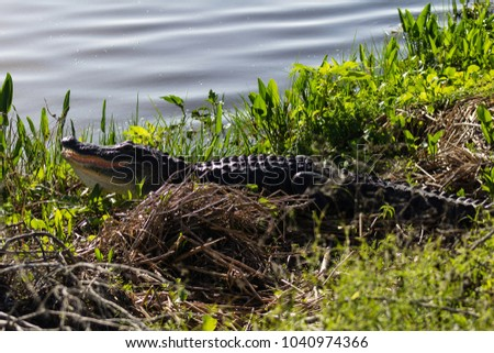 Picture of American alligator