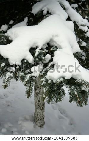 fir in the winter forest #1041399583