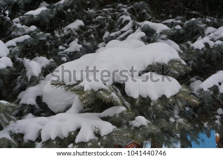 spruce, branches in the snow #1041440746