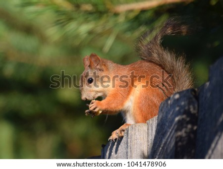 Squirrel eats nut on the fence.  #1041478906