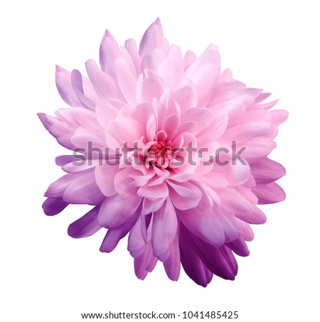 Chrysanthemum  pink-violet. Flower on  isolated  white background with clipping path without shadows. Close-up. For design. Nature. #1041485425