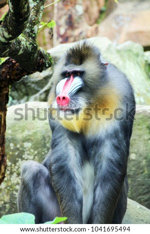 The mandrill (Mandrillus sphinx) is a primate of the Old World monkey family. It is one of two species assigned to the genus Mandrillus. #1041695494