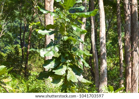 Huge green leaves of tropical plants, Thailand #1041703597