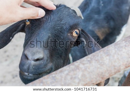 The hand is rubbed on the goat's head. #1041716731