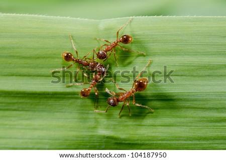 european fire ants meeting