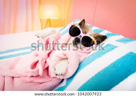 cool funny  poodle dog resting and relaxing in   spa wellness salon center ,wearing a  bathrobe and fancy sunglasses #1042007923