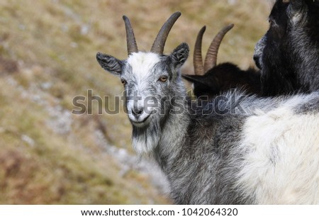 Wild Goats in the British Countryside #1042064320