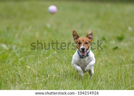 Running jack russell terrier for thrown ball aport #104214926