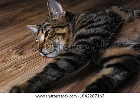 Cat lie on wooden floor