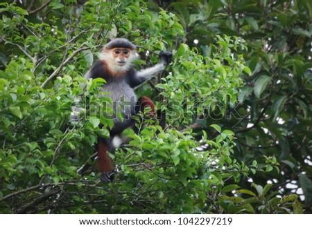 Red Shanked Douc-Langur in Vietnam #1042297219
