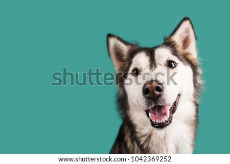 Husky Dog Isolated on Colored Background #1042369252