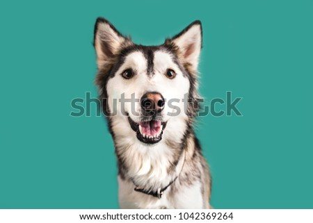 Husky Dog Isolated on Colored Background #1042369264