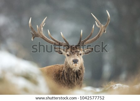 Close up of a Red deer stag during snow  in winter, UK  #1042577752