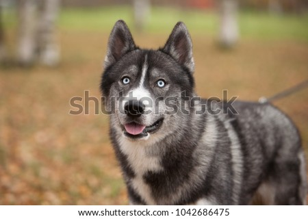 Portrait of grey siberian husky in the autumn park #1042686475