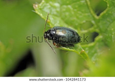 Cabbage Stem Flea Beetle (Psylliodes chrysocephala) on Oilseed Rape (Brassica napus)