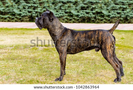 Cane Corso in profile. The Cane Corso stands on the green grass in the park. #1042863964