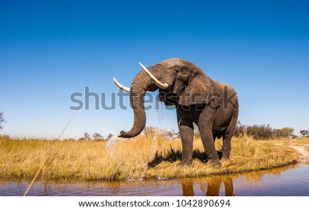 Wild African Elephant Drinking Water #1042890694