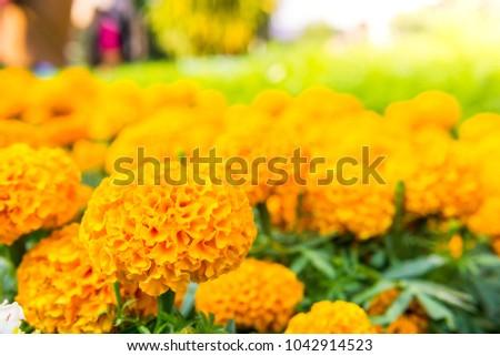 marigold flower in park #1042914523