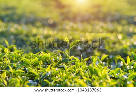Top Tea and light in the morning, Green tea leaves in the  garden in the morning and dew drops are beautiful and fresh leaves, Tea plantations in Thailand, Green Tea in Chiang Rai, Thailand,  #1043137063