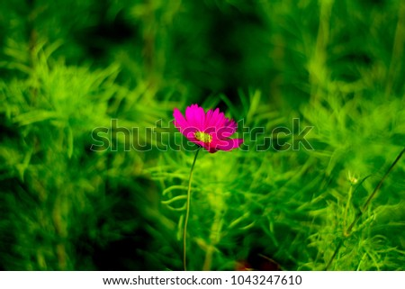 Cosmos flower in the plot #1043247610