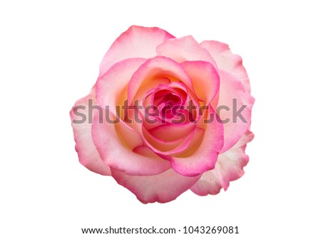 pink rose isolated on white background #1043269081