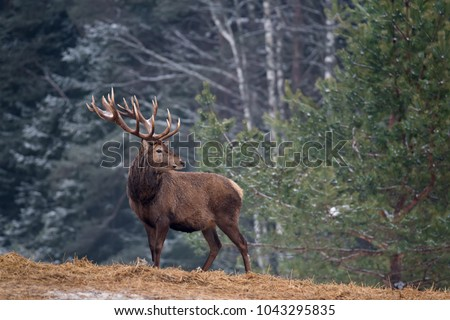 Great Adult Noble Red Deer With Big Horns, Beautifully Turned Head. European Wildlife Landscape With Deer Stag. Portrait Of Lonely Deer With Big Antlers At Birch Forest Background.