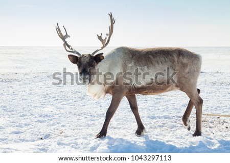Reindeer in winter tundra Royalty-Free Stock Photo #1043297113