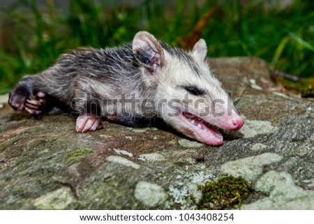 A young Opossum playing dead in the garden.