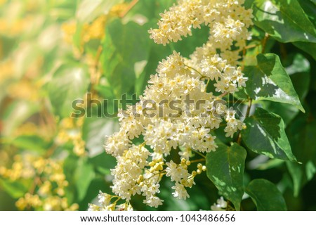 Beautiful good smell little white flowers bridal creeper, snow creeper blooming in garden.  #1043486656