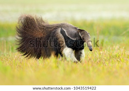 Anteater, cute animal from Brazil. Giant Anteater, Myrmecophaga tridactyla, animal with long tail and log muzzle nose, Pantanal, Brazil. Wildlife scene, running in pampas. #1043519422