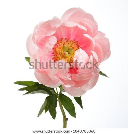 Peony pink color isolated on white background.