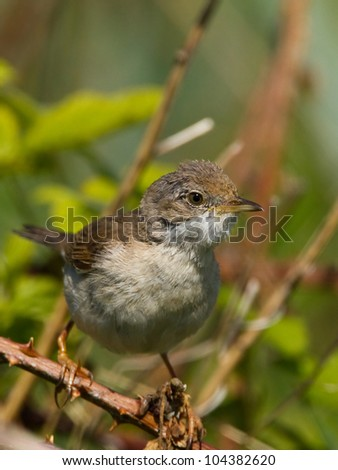 Whitethroat #104382620