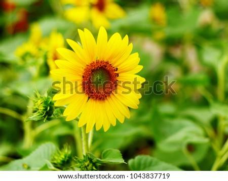 Close-up of sun flower  #1043837719