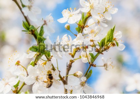 Bee in White cherry blossoms flowers branch Spring abstract nature scene blooming fruit tree #1043846968