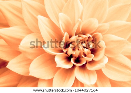 Light orange yellow dahlia flower macro photo. Picture in color emphasizing the light orange colours and brown shadows in a intricate geometric pattern.