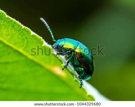 Chrysolina Coerulans Blue Mint Leaf Beetle Insect Crawling on Green Leaf Macro Royalty-Free Stock Photo #1044329680