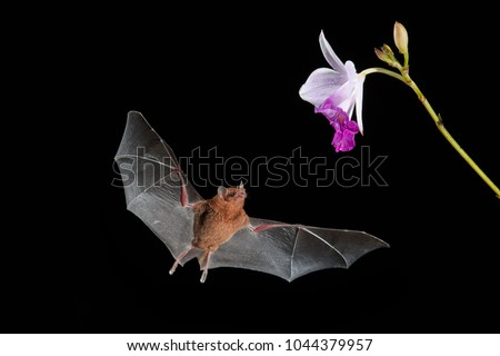 Isolated on black, Orange nectar bat, Lonchophylla robusta,  nocturnal bat  with spread wings, feeding  on nectar from orchidea flower. Bat with fast metabolism. Flash photography workshop.Costa Rica. #1044379957