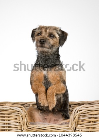 Cute and adorable Border terrier portrait. Image taken in a studio. The puppy is doing an opossum trick and looking funny. #1044398545