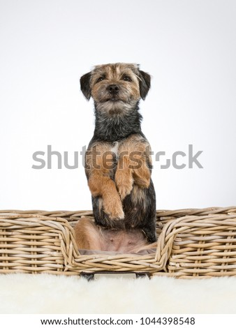 Cute and adorable Border terrier portrait. Image taken in a studio. The puppy is doing an opossum trick and looking funny. #1044398548