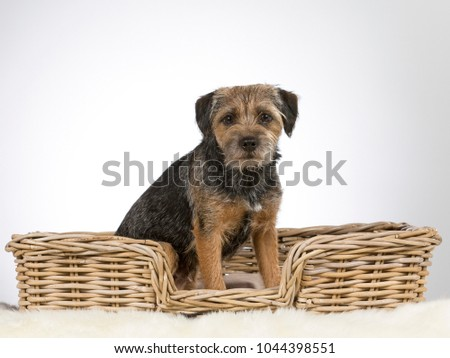 Cute and adorable Border terrier portrait. Image taken in a studio.  #1044398551
