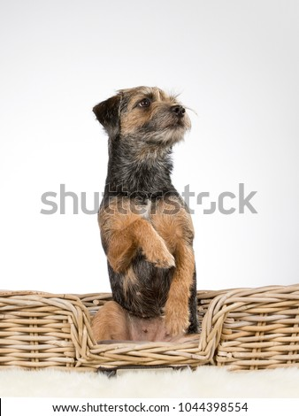 Cute and adorable Border terrier portrait. Image taken in a studio. The puppy is doing an opossum trick and looking funny. #1044398554