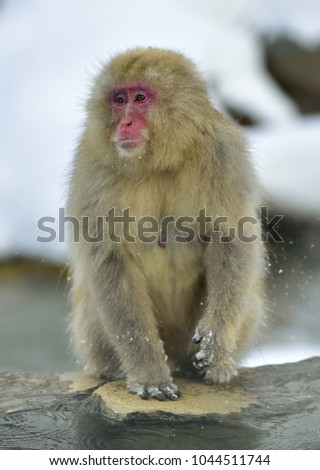 Snow monkey on natural hot spring. The Japanese macaque ( Scientific name: Macaca fuscata), also known as the snow monkey. #1044511744