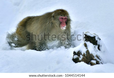 Snow monkey. The Japanese macaque ( Scientific name: Macaca fuscata), also known as the snow monkey. #1044514144