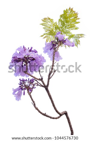 Jacaranda Flower isolated on white background, a species with an inflorescence at the tip of the purple flower, is native to South America. #1044576730